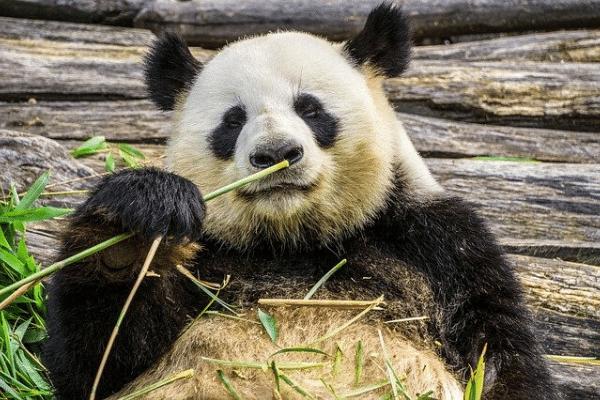 panda, digestion, trop manger